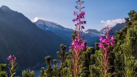 Bergblumen im Zillertal